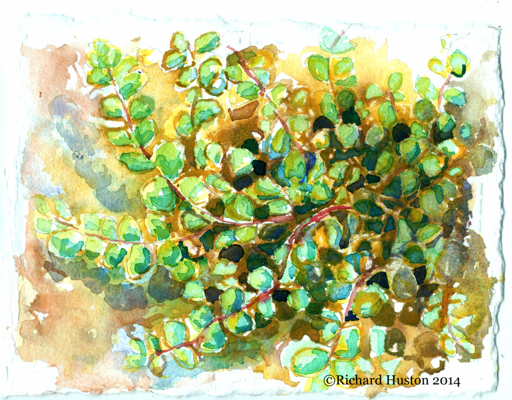 Maidenhair Spleenwort — Asplenium trichomanes L. 5x7, watercolor on 300lb coldpress