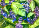 American Beautyberry (Callicarpa americana L) 15×11, watercolor