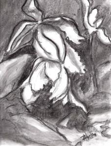 Lenten Rose 02 (Helleborus orientalis) 9x12, charcoal on 95lb Canson xl series mixed media paper