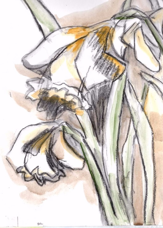 daffodils 01... cropped drawing 5x7, charcoal and acrylic on paper